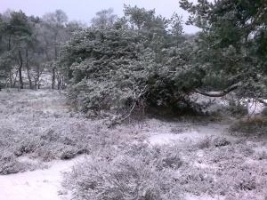 Zelfs in de winter het paars van de heide erdoorheen!